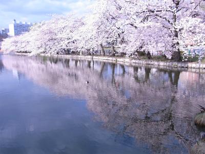 上野は桜が見ごろです!